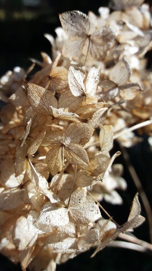 八仙花属美丽的干燥死的花  库存照片