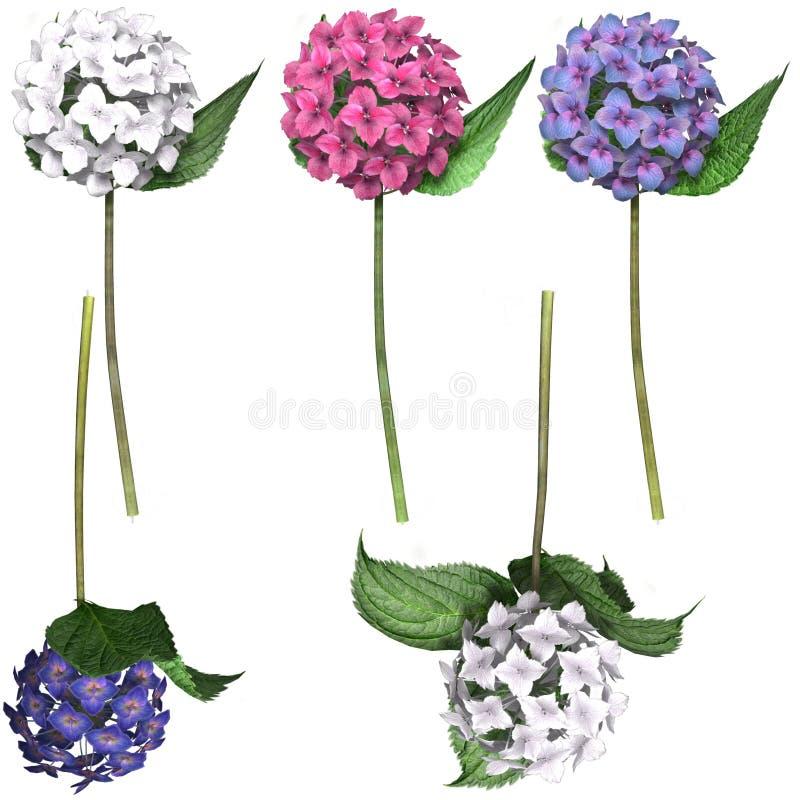 八仙花属 皇族释放例证