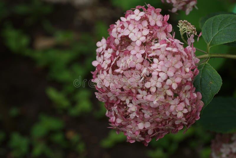 八仙花属arborescens Incrediball脸红或甜安娜贝勒变粉红色corymb 免版税图库摄影