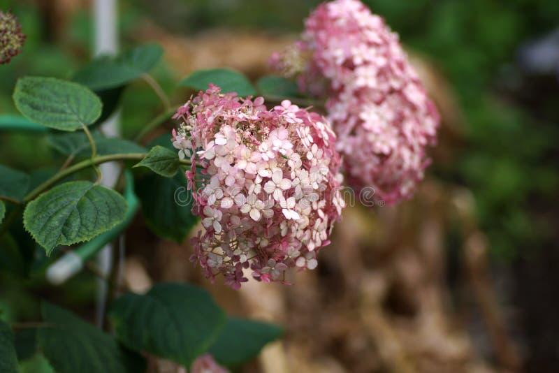 八仙花属arborescens Incrediball脸红或甜安娜贝勒变粉红色corymb 库存照片