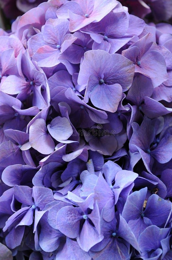 八仙花属macrophylla紫色 免版税图库摄影