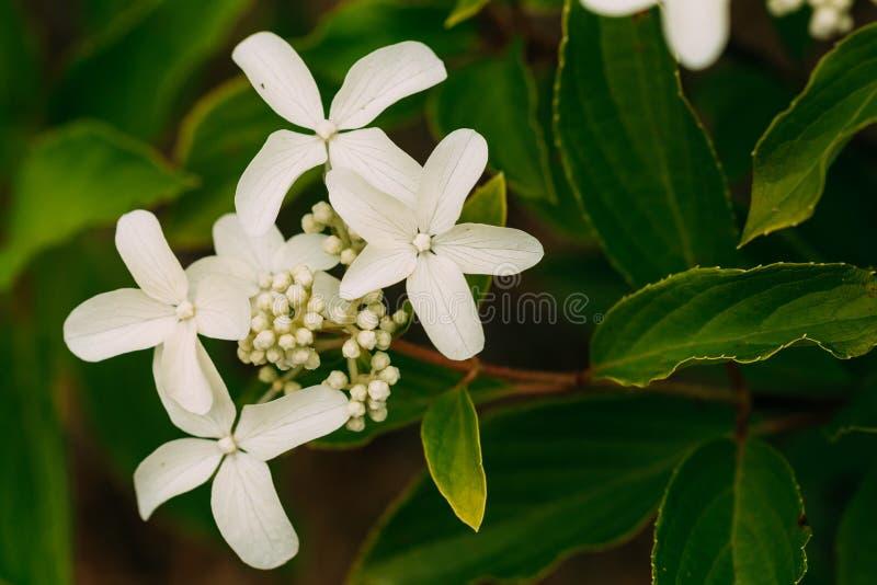 八仙花属Paniculata Siebold幽灵白花  Panicled 免版税库存照片