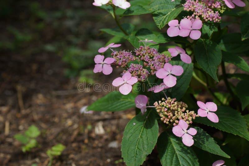 八仙花属serrata Intermedia变粉红色corymb 共同的名字包括山天堂八仙花属和茶  免版税库存照片