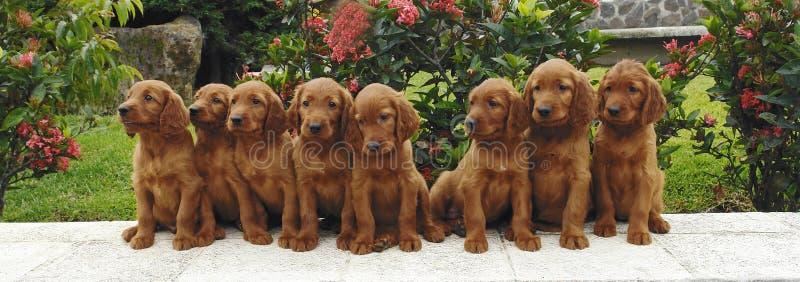 八只爱尔兰小狗安装员 免版税图库摄影