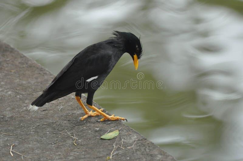 八哥鸟在泰国 库存图片
