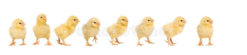 八走在彼此后的黄色婴孩小鸡 库存照片