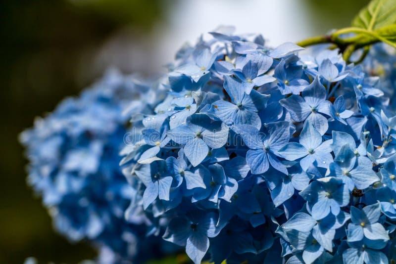 八仙花属或霍滕西亚蓝色花 免版税库存照片