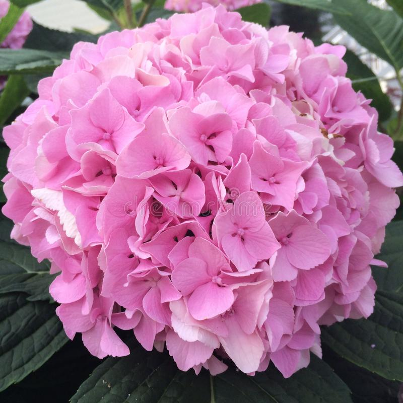 八仙花属粉红色 库存照片