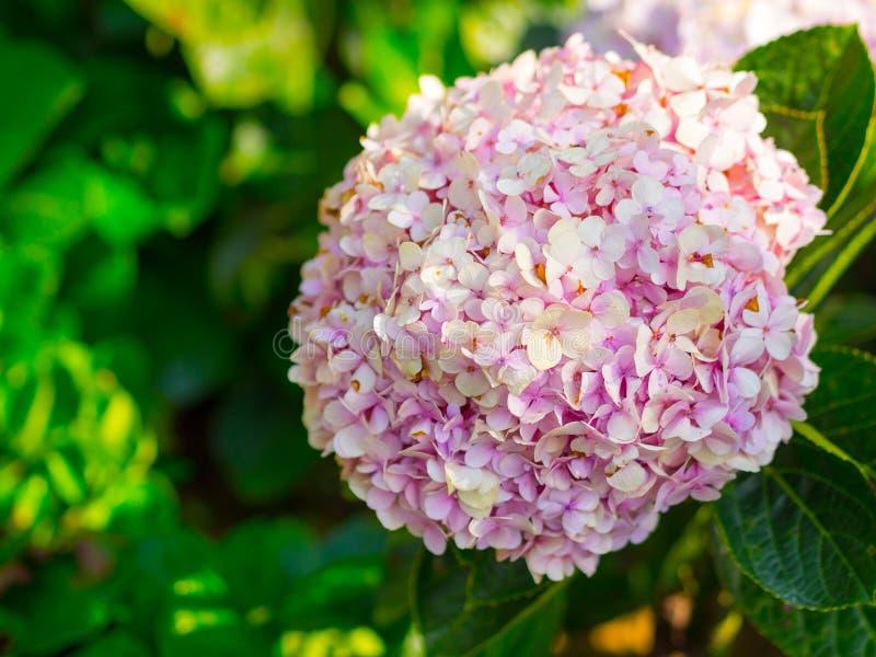 八仙花属花软的焦点照片  免版税库存图片