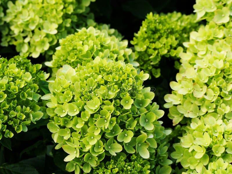 八仙花属paniculata `一点石灰` 免版税图库摄影