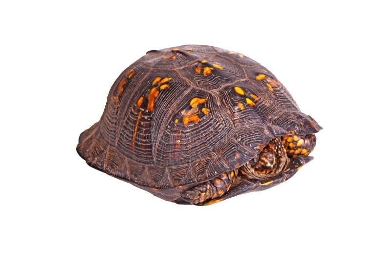 公东部龟盒(箱型海龟类卡罗来纳州卡罗来纳州)隔绝了o 免版税图库摄影