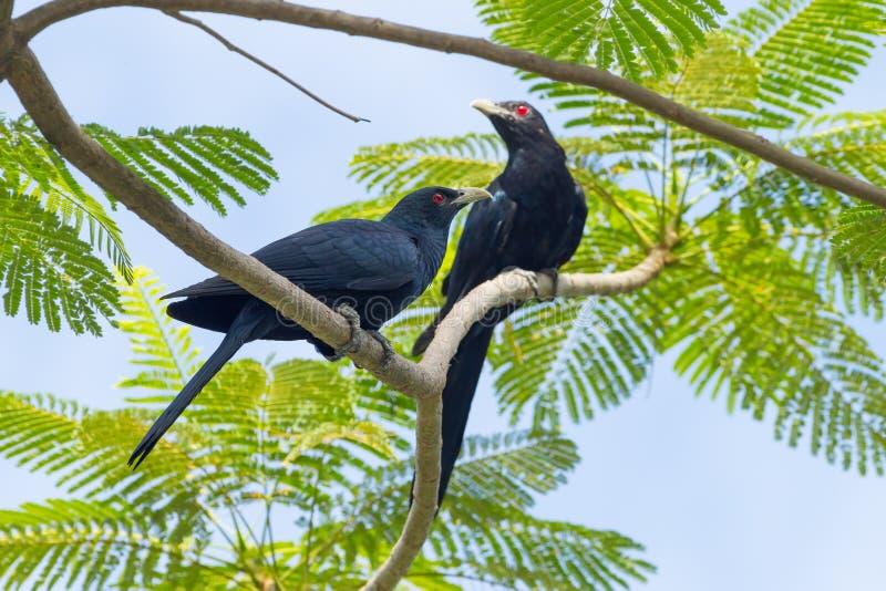 公共同的Koel (亚洲人Koel)鸟夫妇  免版税库存照片