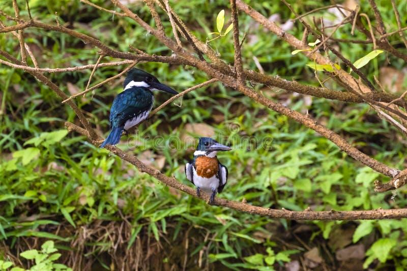 公和母亚马逊翠鸟- Chloroceryle亚马逊 免版税库存图片