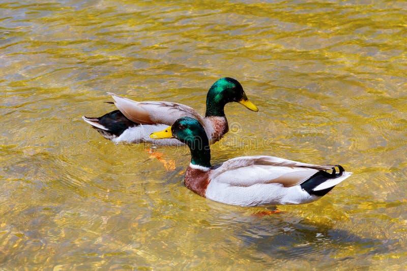 公和母鸭子一对年轻夫妇的特写镜头在爱的游泳干净的湖的  免版税库存照片