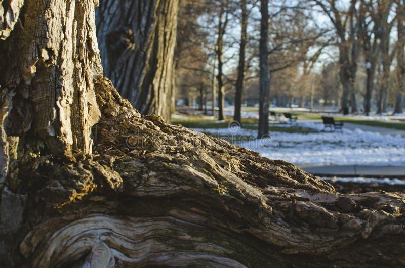公园树的被打结的根 图库摄影
