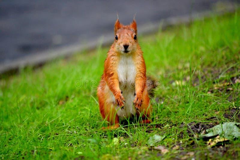 公园灰鼠 免版税库存照片