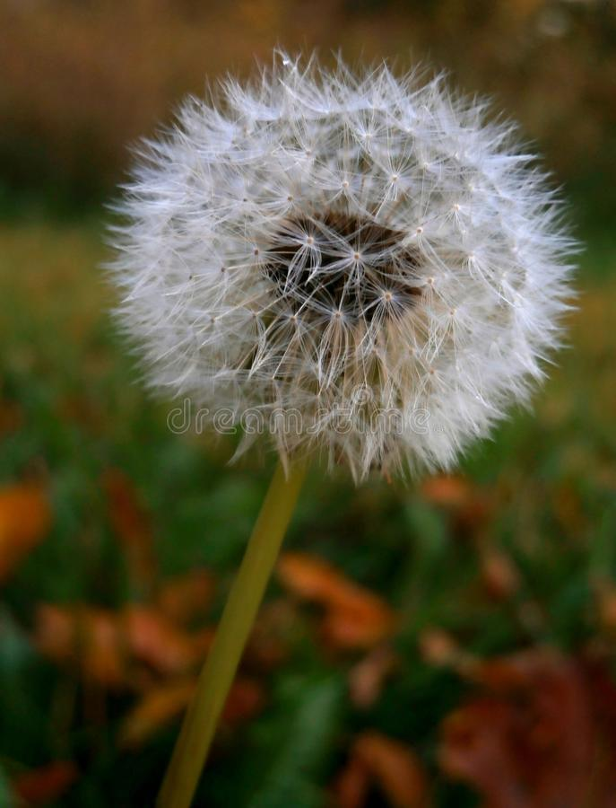 公园里的白蒲公英植物 免版税图库摄影