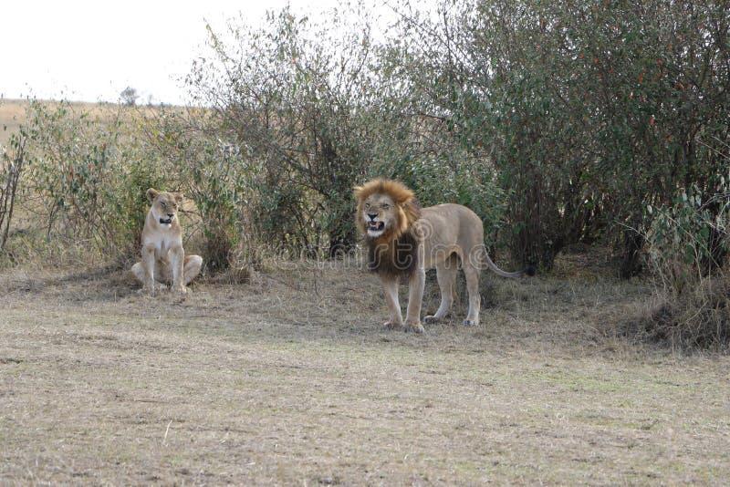 公在狂放的maasai玛拉的狮子母雌狮 库存照片
