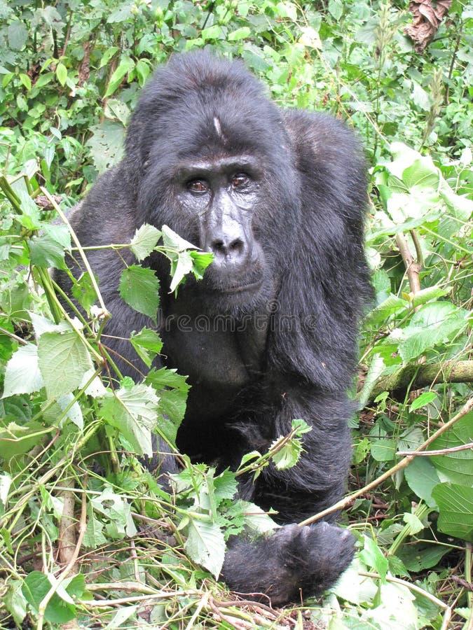 公大猩猩在密林 库存照片