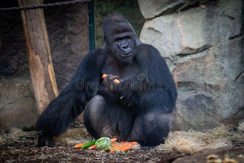 公大猩猩用食物在法兰克福动物园里 免版税库存图片