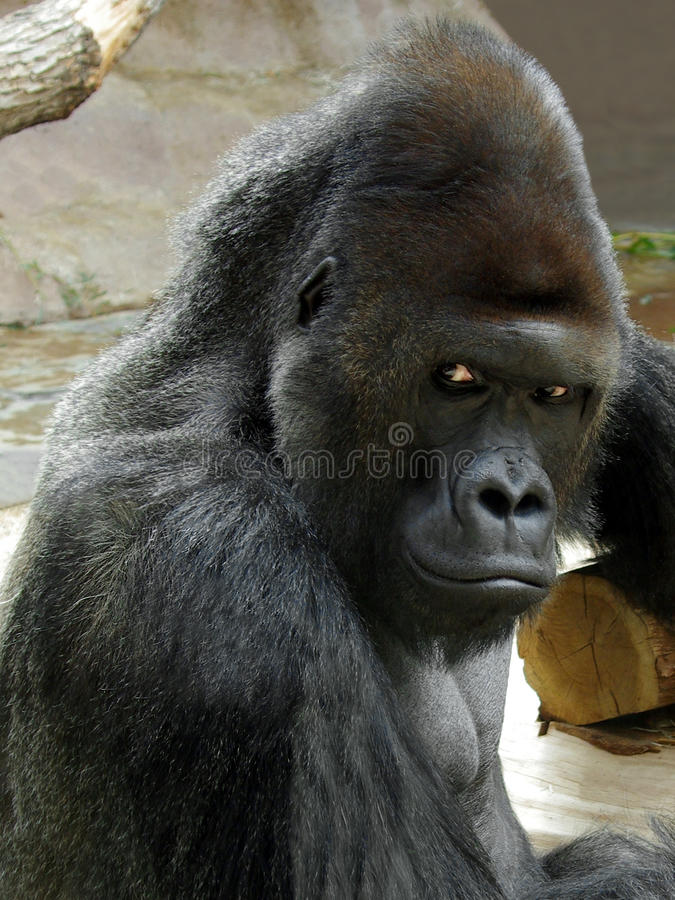 公大猩猩画象  库存图片