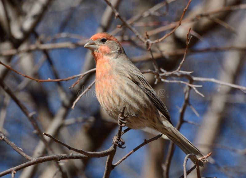 公室内燕雀鸟(carpodacus mexicanus) 免版税库存图片
