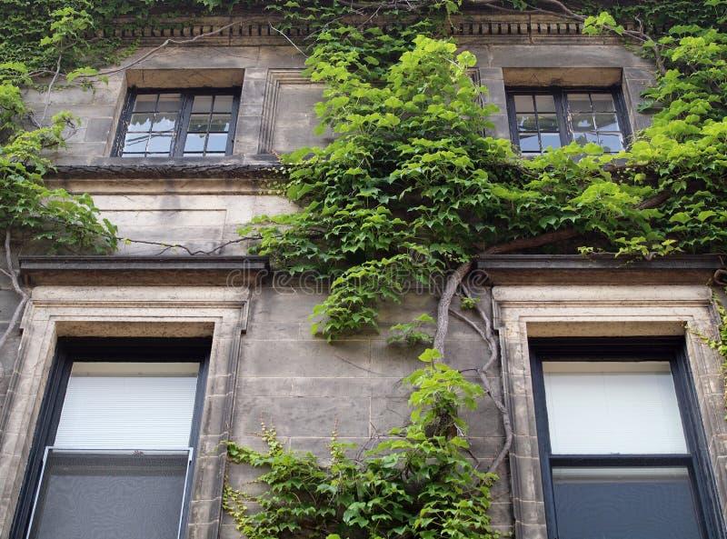 公寓绿色生长常春藤 免版税库存照片
