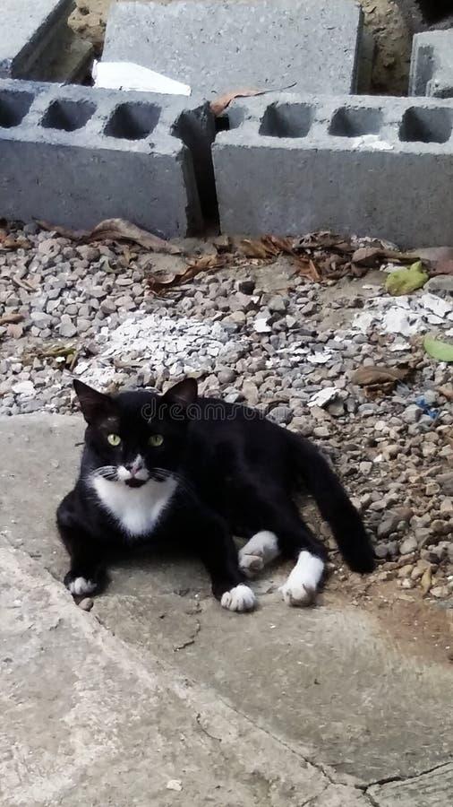 公无尾礼服猫 库存照片