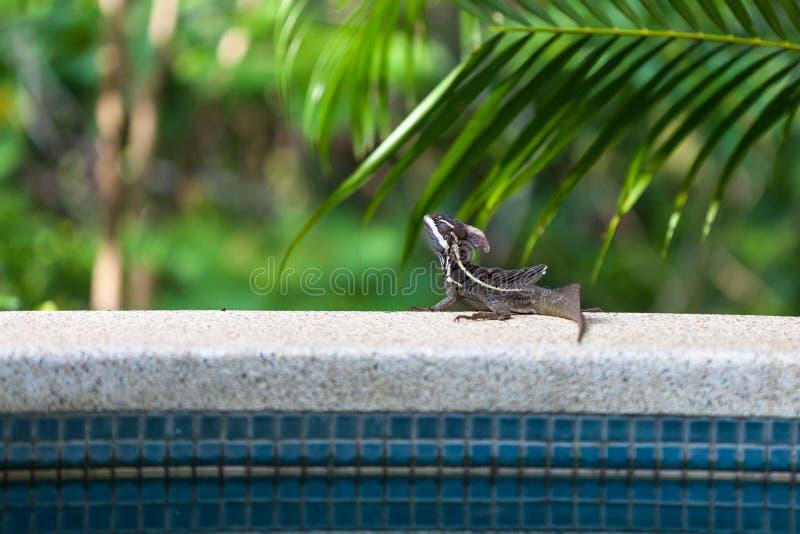 公棕色蛇怪蜥蜴 库存照片