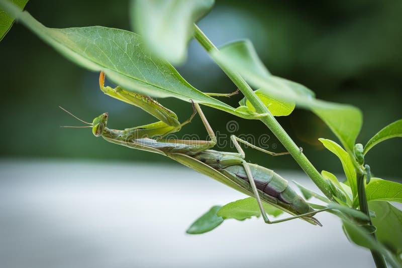 公欧洲螳螂或螳螂Religiosa的宏观图象 库存图片