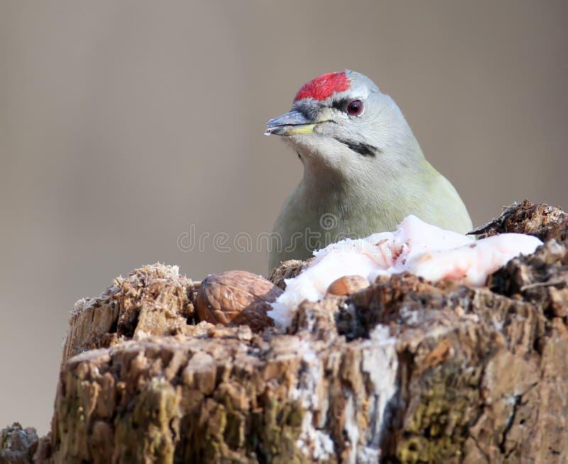 公灰色啄木鸟头  库存图片