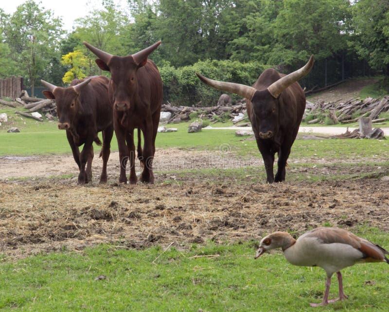 公牛一些 库存照片