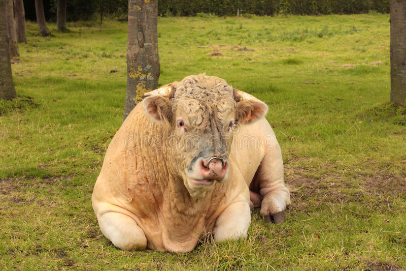 公牛夏洛来牛法国草绿色位于 图库摄影