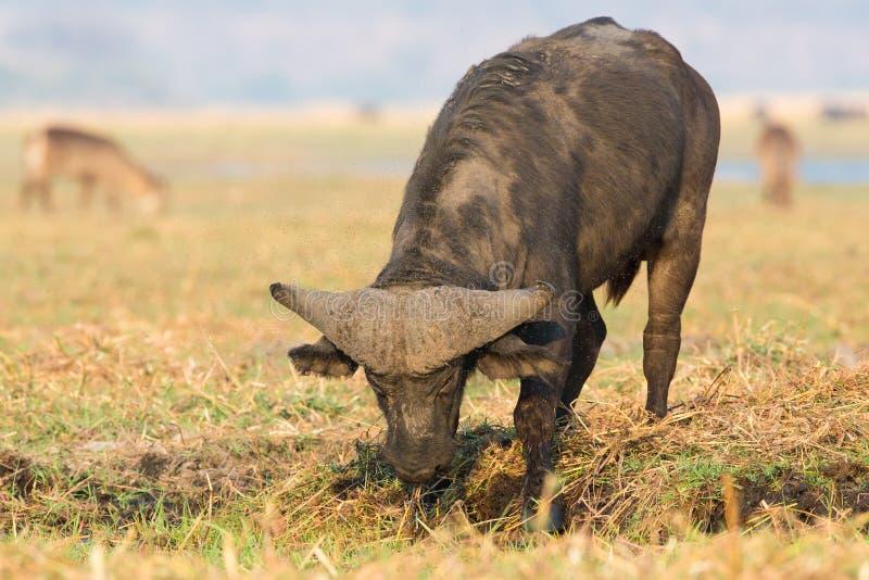 公牛开掘在泥的Cape Buffalo 免版税图库摄影