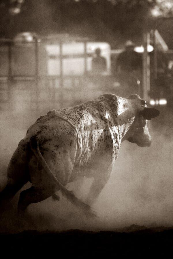 公牛愤怒 免版税图库摄影