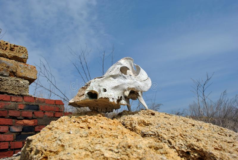 公牛放置的头骨关闭在被破坏的农厂背景,蓝色多云春天天空克里米亚半岛coquina岩石块和红砖墙壁  库存图片