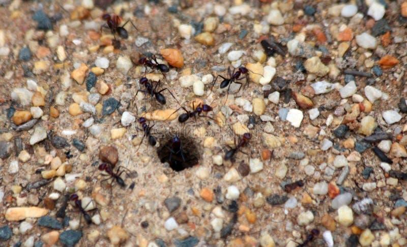 公牛蚂蚁 免版税库存照片