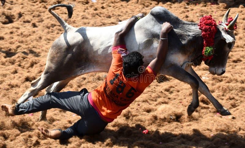 公牛驯服的比赛 免版税库存图片