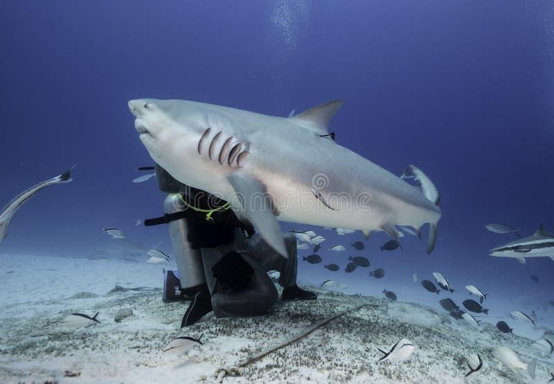 公牛鲨鱼哺养 免版税图库摄影