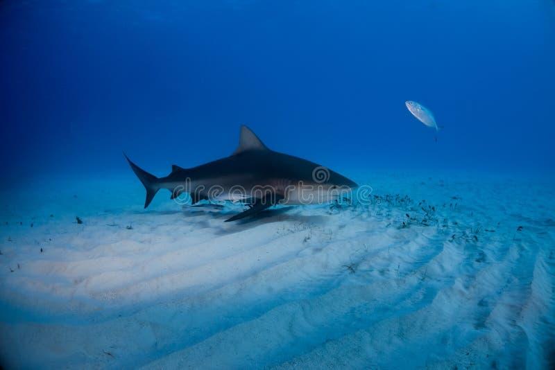 公牛鲨鱼巴哈马Bimini 免版税库存图片
