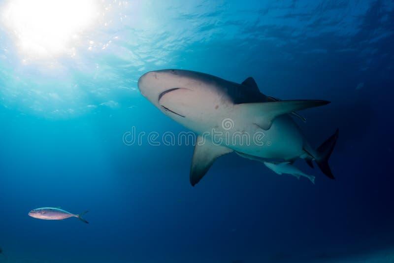 公牛鲨鱼巴哈马Bimini 免版税库存照片