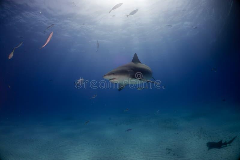 公牛鲨鱼巴哈马Bimini 图库摄影