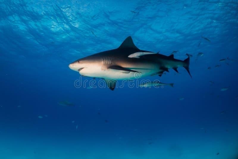 公牛鲨鱼巴哈马Bimini 免版税图库摄影