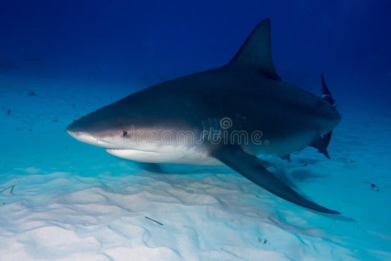 公牛鲨鱼巴哈马Bimini 库存照片