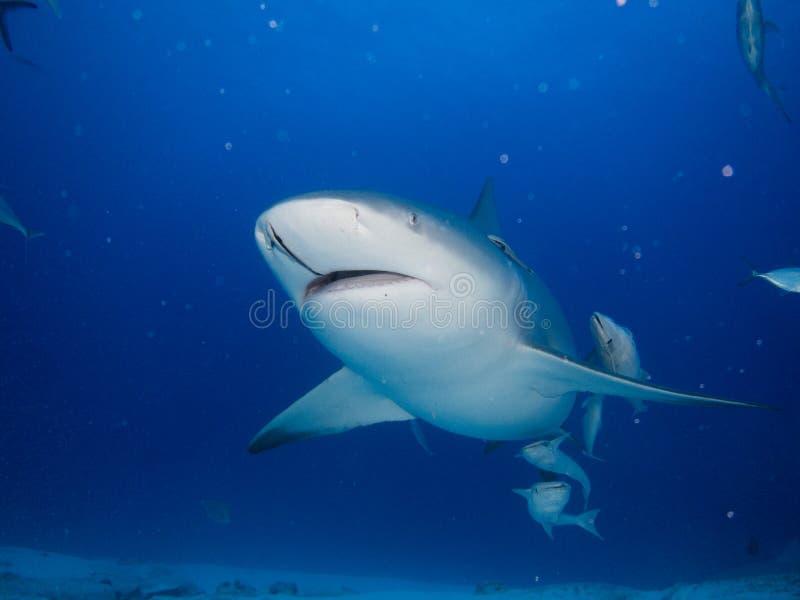 公牛鲨鱼 库存图片