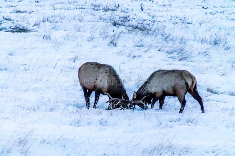 公牛麋spoaring在雪的,班夫国家公园,亚伯大,能 库存照片
