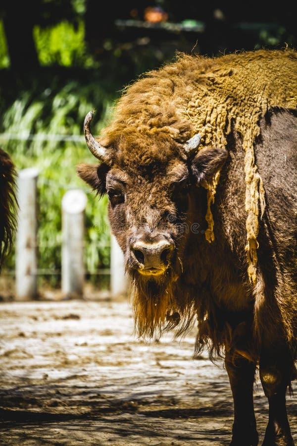 公牛,伟大和强大北美野牛,美国 免版税库存照片