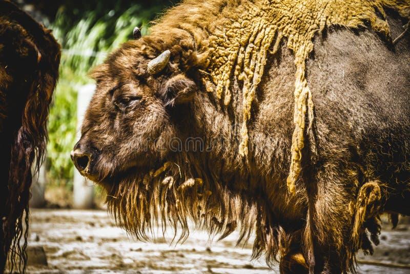 公牛,伟大和强大北美野牛,美国 库存照片