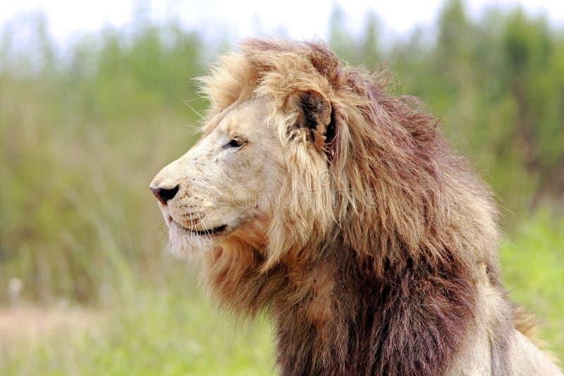 公狮子 免版税库存图片