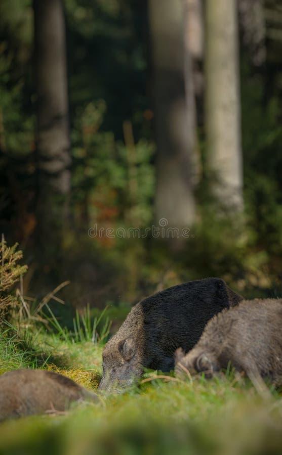 公猪在杉木森林里 免版税图库摄影